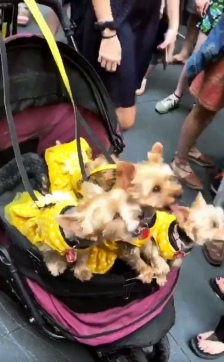 BB dogs in baby carriage
